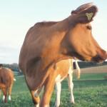 Kuh von vorne, Kopf nach rechts gedreht - Foto: www.oekolandbau.de / Copyright BLE / D. Menzler