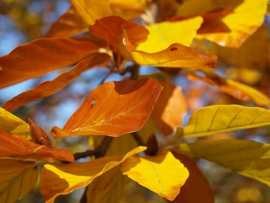 Bunt gefärbtes Buchenlaub - Foto: Stephanie Schubert