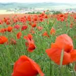Rote Mohnblumen auf einem großen Feld, im Hintergrund ist eine Siedlung zu sehen - Foto: A. Schwarze