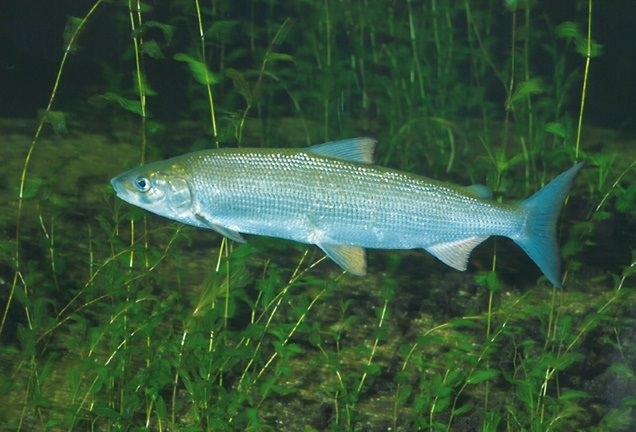 Fisch vor Wasserpflanzen - Foto: N .Sloth