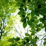 grüne Buchenblätter - Foto: Lisa Mäder