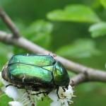 Grüner Käfer auf weißer Blüte - Foto: Paul Behrens