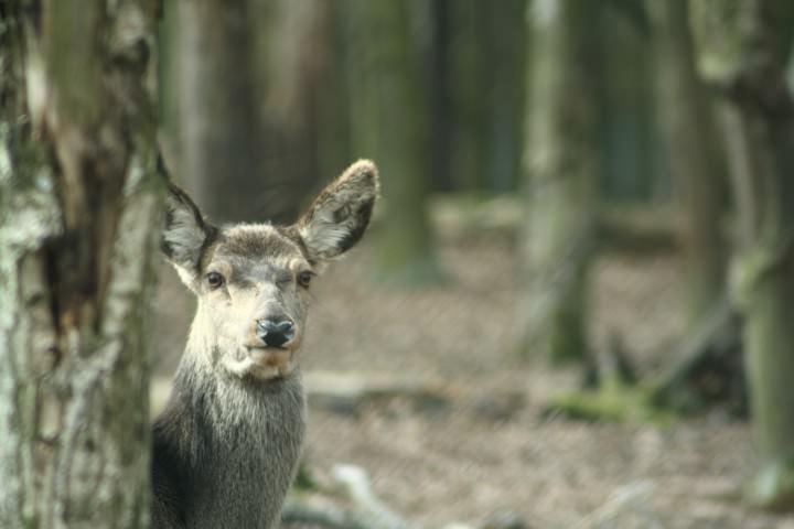 Eine Hirschkuh schaut hinter einem Baum hervor - Foto: Paul Herfort