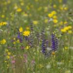 Blumenwiese, Wiesenbocksbart, Wilde Moehre, Wiesen-Salbei, Saat-Esparsette, Salvia pratensis, Daucus carota - Foto: D. Nill